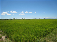 Kilombero rice under irrigation